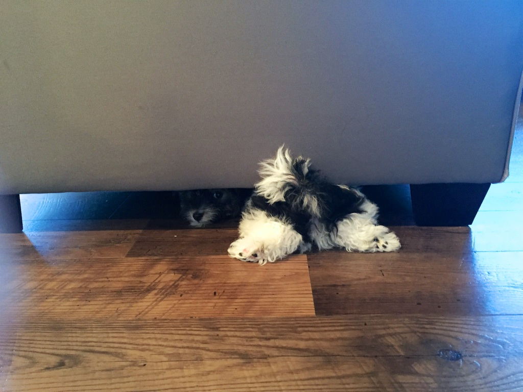 Havanese Puppy Hiding Under Couch