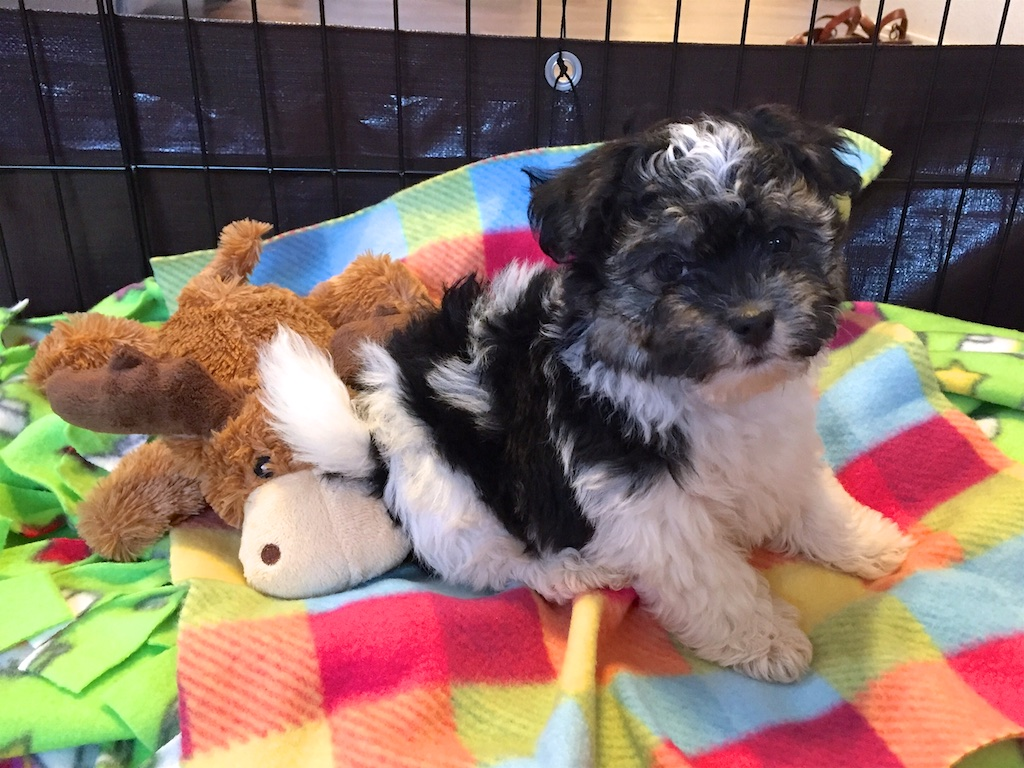 havanese-puppy-in-pen