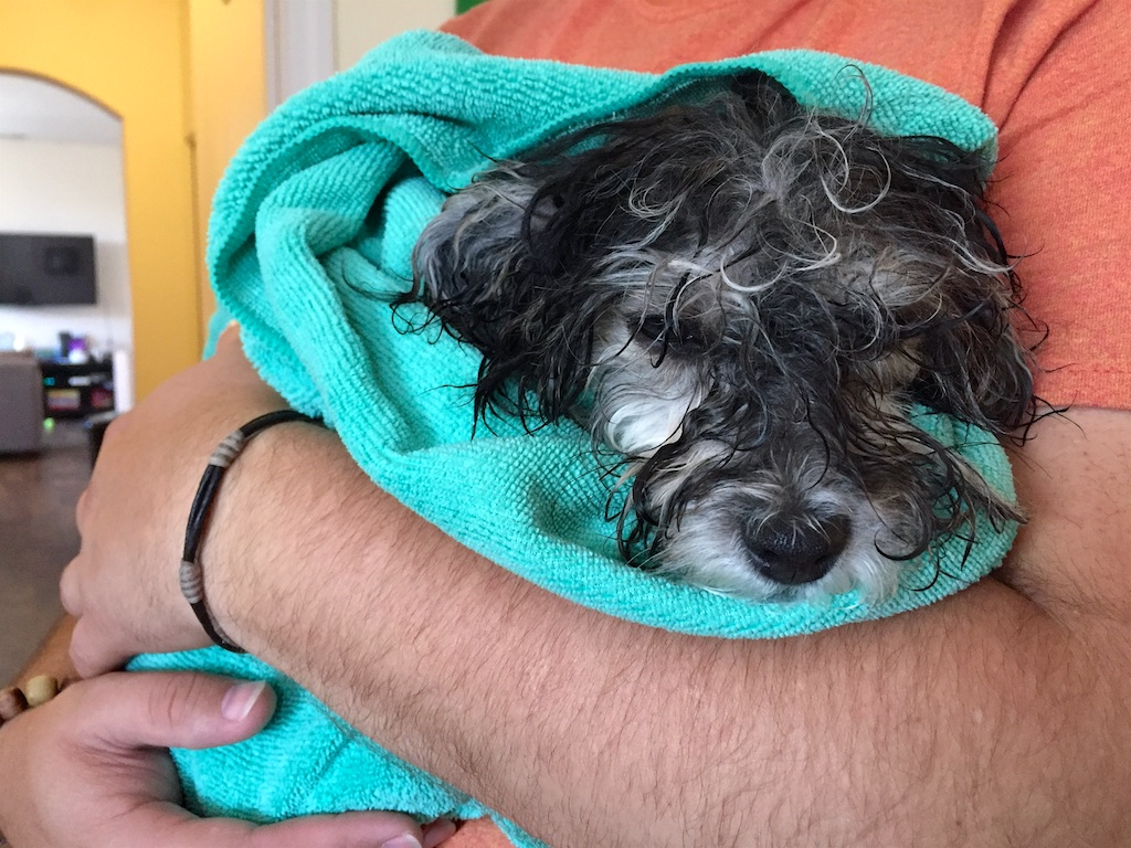 Havanese Puppy in a Bath Towel