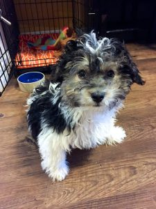 Havanese Puppy in front of crate
