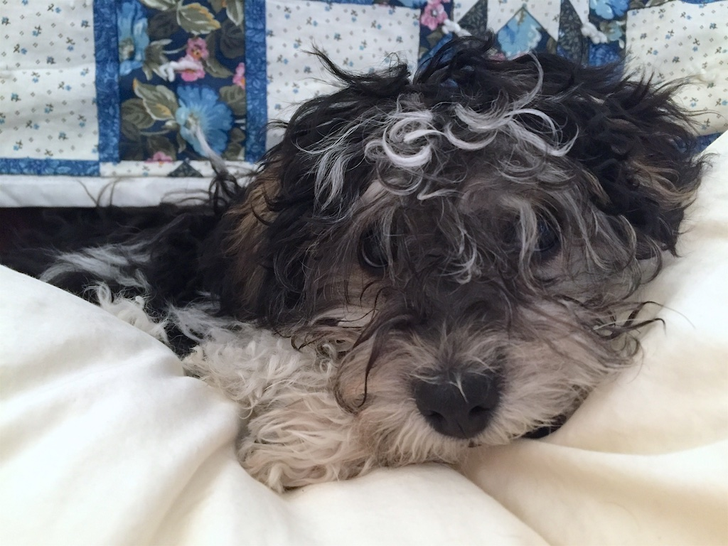 Havanese Puppy on Pillow